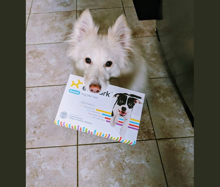 Photo of Ida, a Samoyed, Mixed, and Collie mix in Edmonton, Alberta, Canada