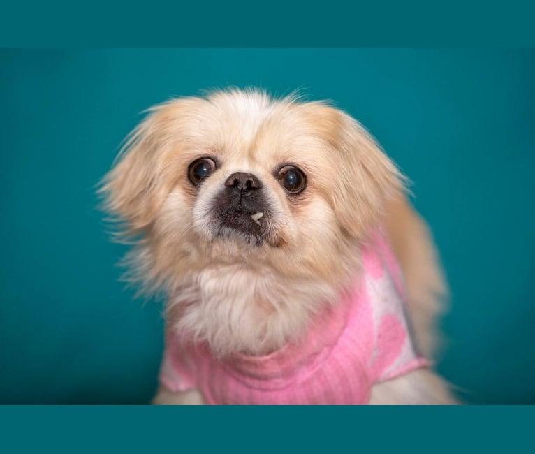 Photo of Sophie, a Pekingese  in Dayton, Ohio, USA