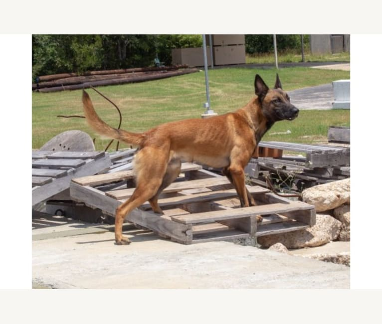Photo of Maui, a Belgian Shepherd  in Texas, USA