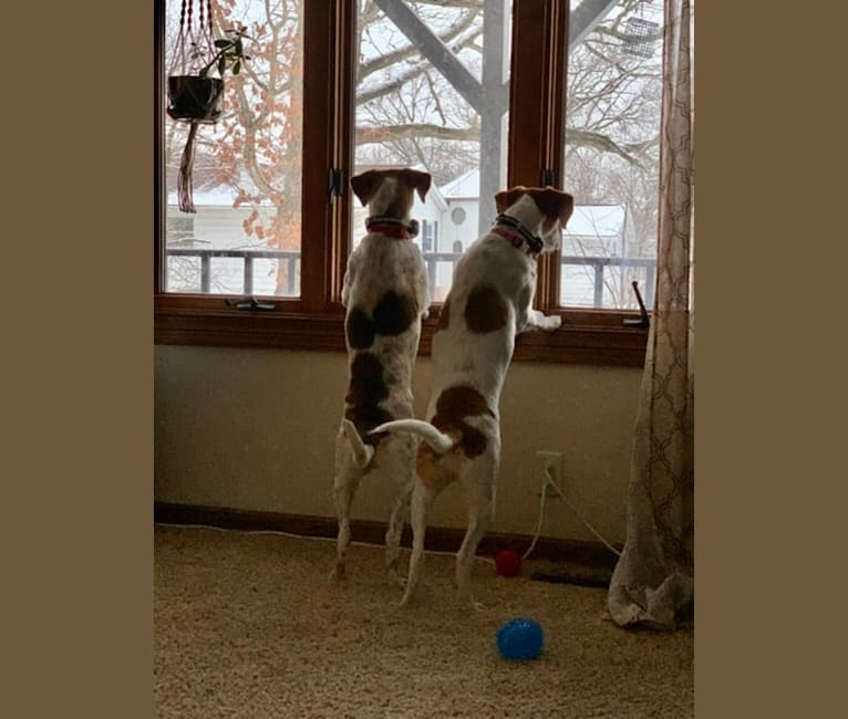 Photo of Scout & Shiloh, a Mountain Cur, Australian Cattle Dog, and Labrador Retriever mix in Metamora, Illinois, USA