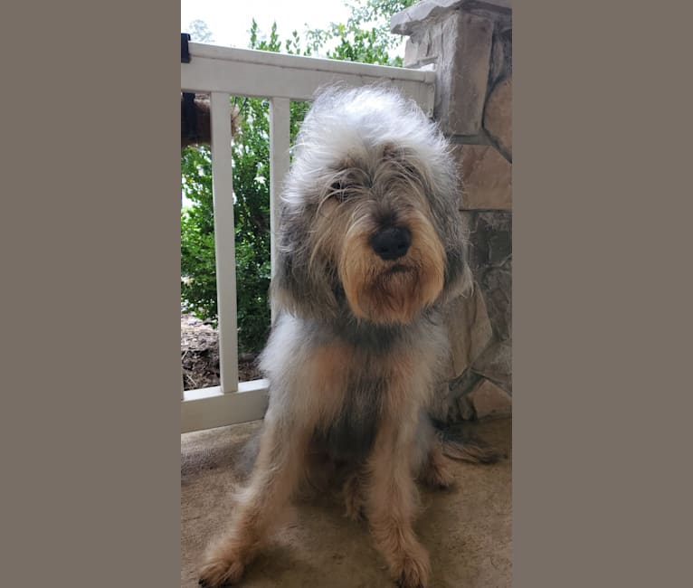 Photo of Dodger, an Otterhound  in Birmingham, AL, USA