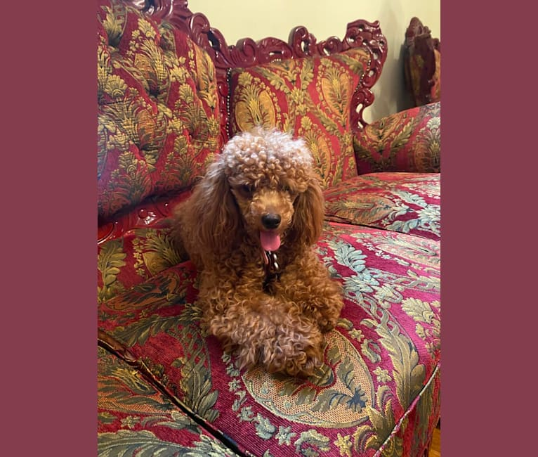 Photo of Dior The illest Na Na, a Poodle (Small)  in Tennessee, USA