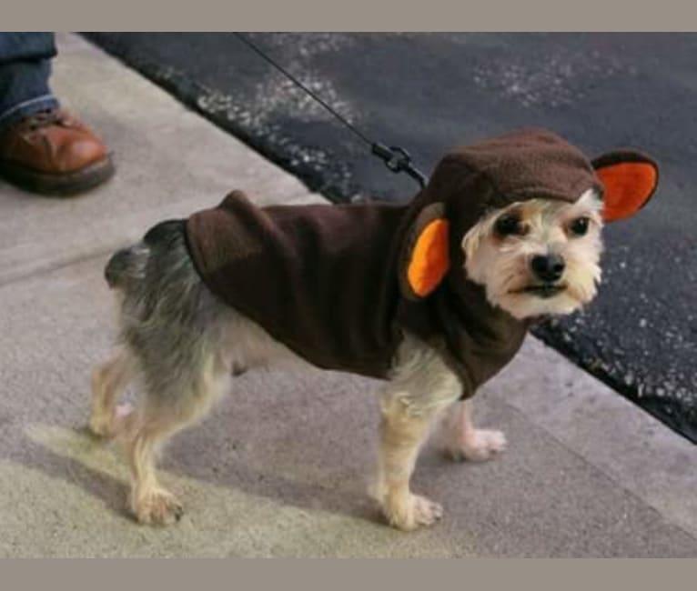 Photo of Tank, a Yorkshire Terrier, Maltese, and Pomeranian mix in Cincinnati, Ohio, USA