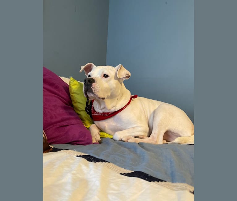 Photo of Fetty, an American Pit Bull Terrier, American Staffordshire Terrier, and Mixed mix in Richmond, Virginia, USA