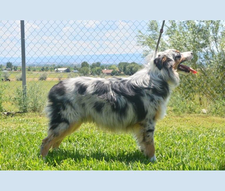 Photo of Gus Gus, an Australian Shepherd Group  in Idaho, USA