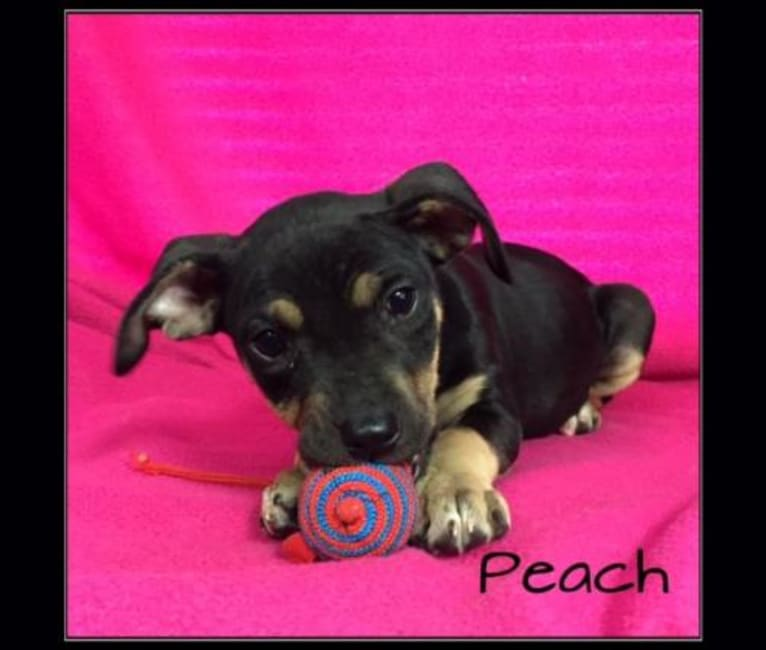 Photo of Peaches, an American Pit Bull Terrier, Golden Retriever, Beagle, and Boxer mix in Indiana, USA