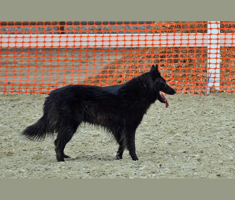 Photo of Lady, a Belgian Shepherd  in California, USA
