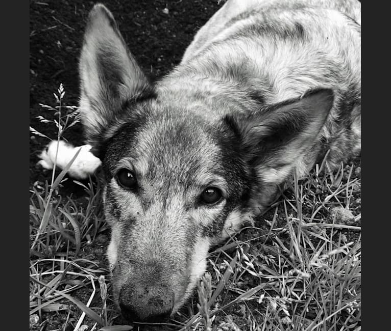 Photo of Wiley, a Middle Eastern Village Dog  in Egypt