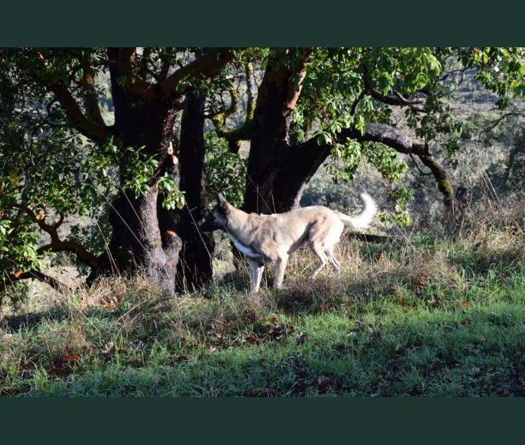Photo of Crank, a Belgian Shepherd  in Riverside, California, USA