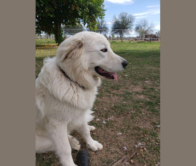 Photo of Galadriel, a Maremma Sheepdog  in Colorado, USA