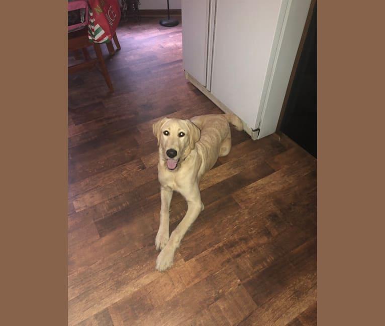 Photo of Winston, a Labradoodle  in McCalla, AL, USA