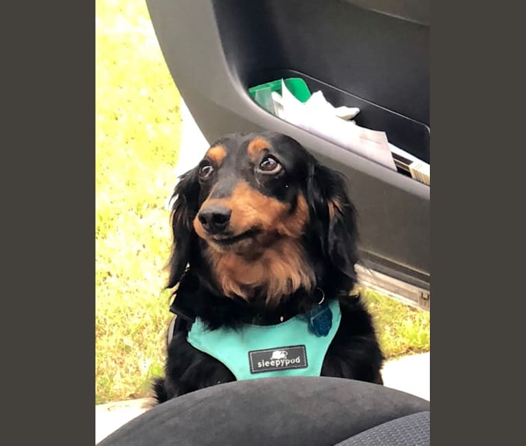 Photo of Theodore, a Dachshund  in Cainsville, MO, USA