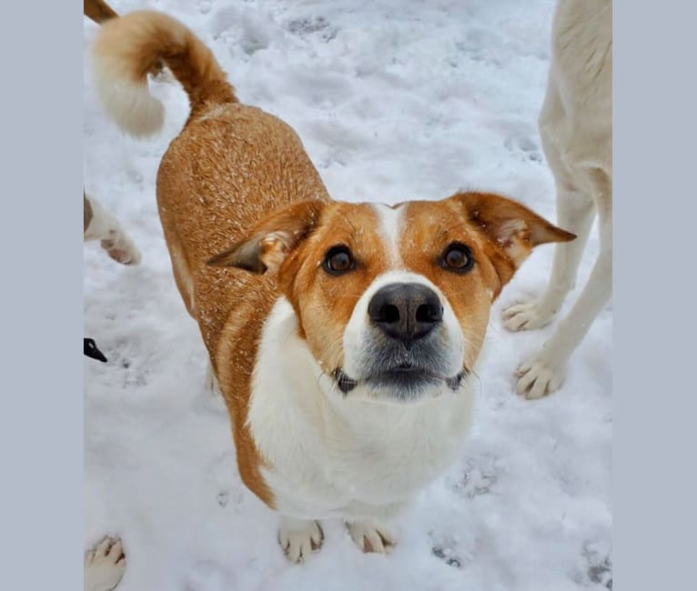 Photo of Mabel, an Australian Cattle Dog, Chow Chow, Russell-type Terrier, and Mixed mix in New Hampshire, USA