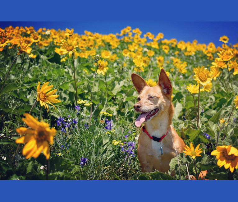 Photo of Dobby, a Chihuahua, Poodle (Small), Pomeranian, and Mixed mix in Sacramento, California, USA