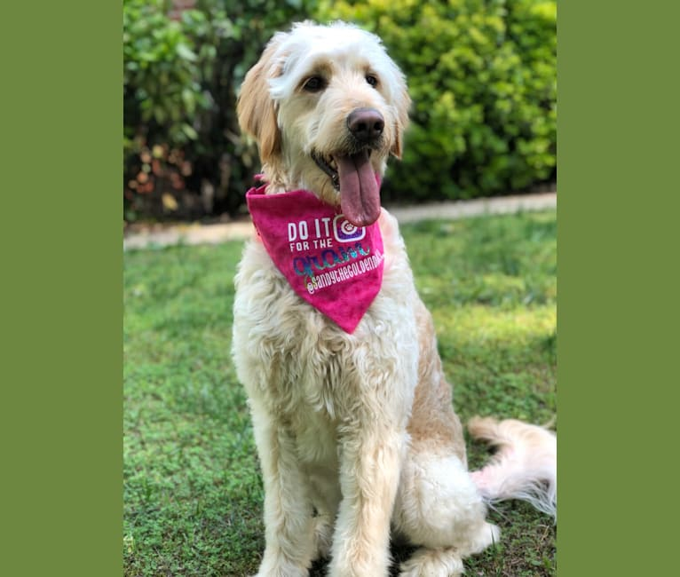 Photo of Sandy, a Goldendoodle  in Fresno, Ohio, USA