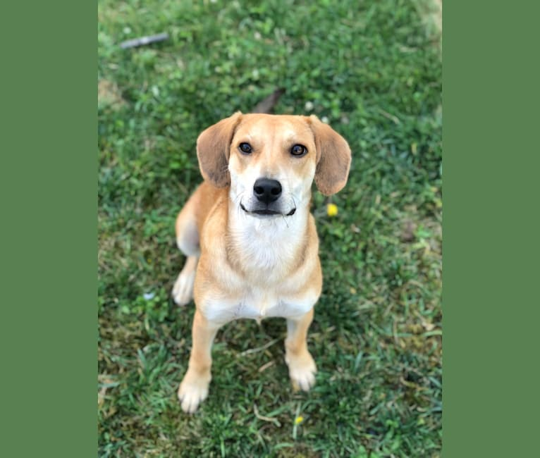 Photo of Sake, a Mountain Cur, Redbone Coonhound, Beagle, and Mixed mix in Tennessee, USA