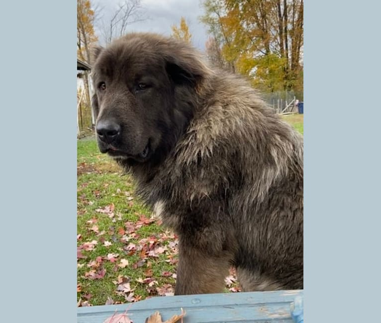 Photo of Maverick, a Caucasian Ovcharka  in Russia