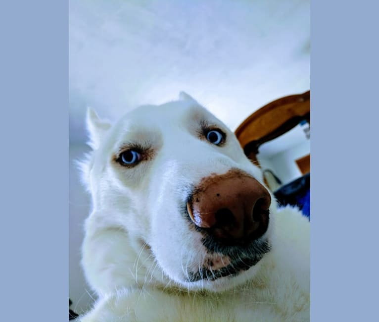 Photo of Sky, a Siberian Husky (8.5% unresolved) in Binghamton, New York, USA