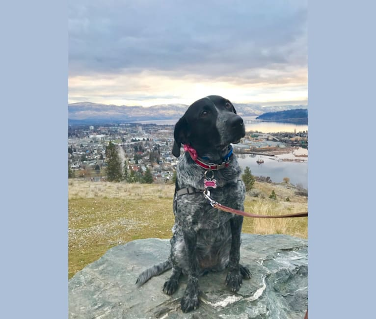 Photo of Aspen, a Labrador Retriever, German Shepherd Dog, American Pit Bull Terrier, American English Coonhound, Golden Retriever, and Mixed mix in Kelowna, British Columbia, Canada