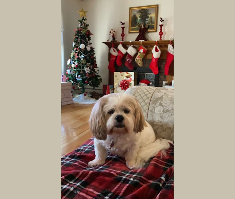 Photo of Ginny, a Lhasa Apso  in Texas, USA
