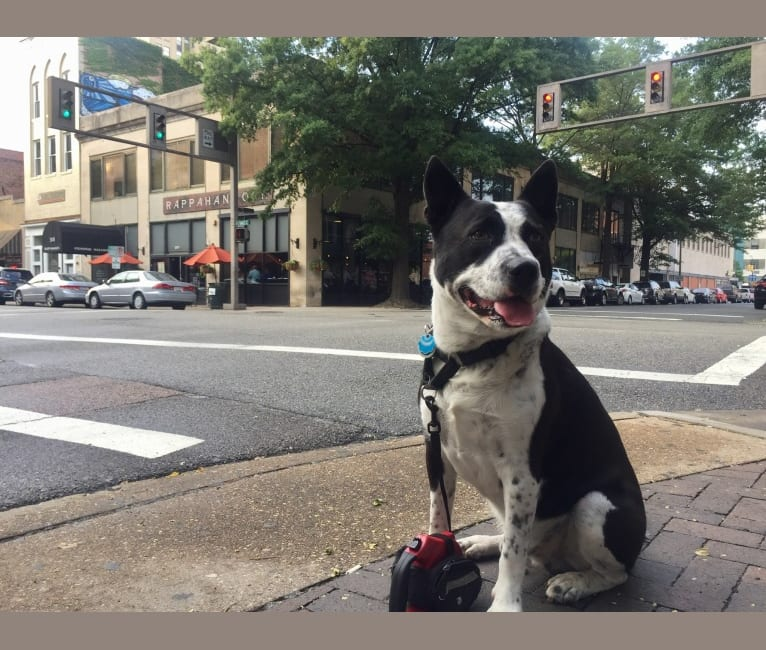 Photo of Cosmeaux, an American Pit Bull Terrier and Siberian Husky mix in Louisiana, USA