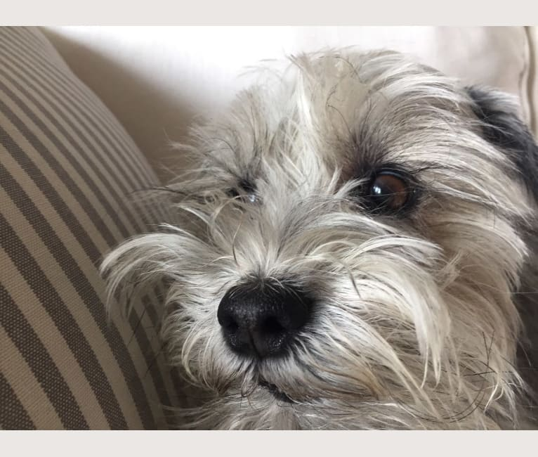 Photo of Lucky, a Miniature Schnauzer  in Florida, USA
