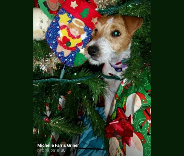 Photo of Sophie Jeannette, a Russell-type Terrier  in Oneonta, AL, USA