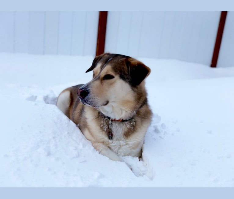 Photo of Maverick, a Golden Retriever, Siberian Husky, and Catahoula Leopard Dog mix