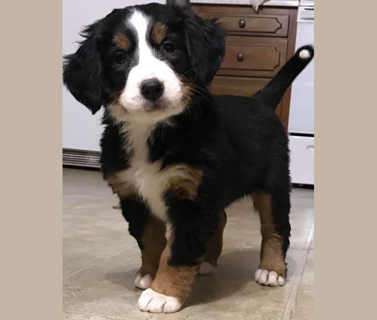 Photo of Tessa, a Bernese Mountain Dog  in Minnesota, USA