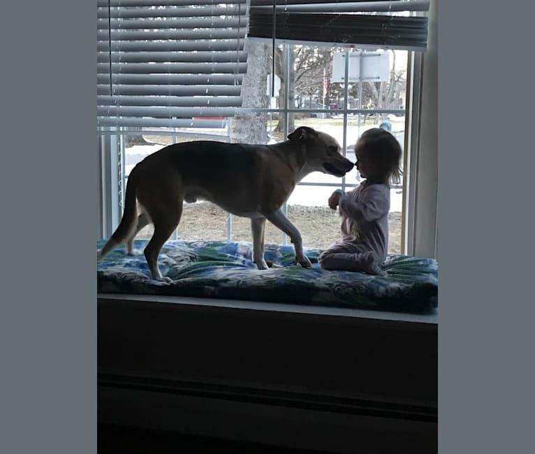Photo of Jackson, a German Shepherd Dog, Beagle, and Bulldog mix in Rochester, New York, USA