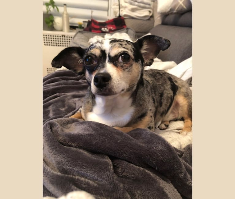 Photo of Cooper, a Chihuahua mix in New York, New York, USA