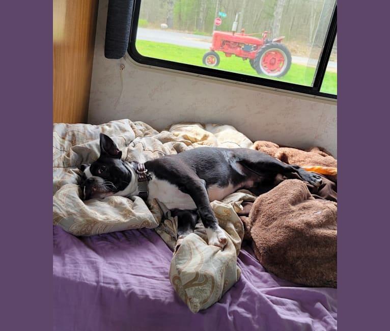 Photo of Julian Montana McCormack, a Boston Terrier  in 9641 State Hwy 39, Aurora, MO, USA