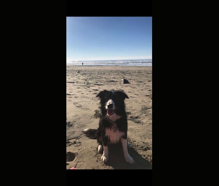 Photo of Mia, a Border Collie  in Tacoma, WA, USA