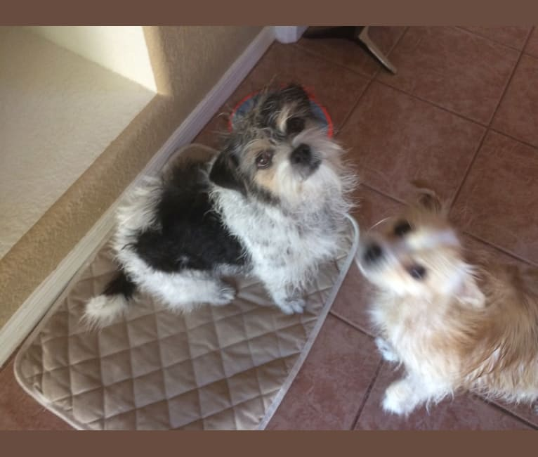 Photo of Riley, a Pekingese, Chihuahua, Shih Tzu, Poodle (Small), and Mixed mix