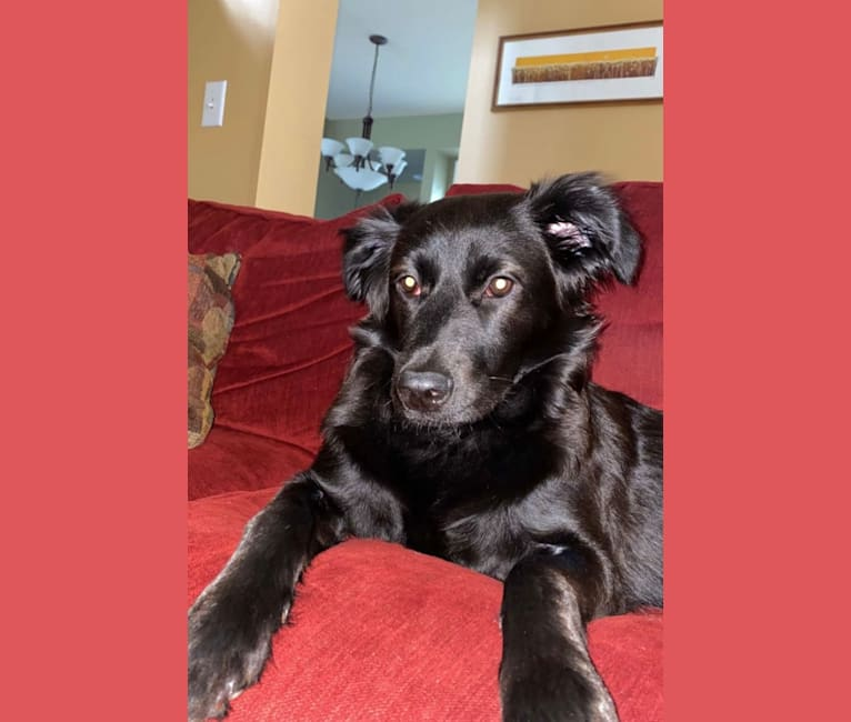 Photo of Leia, a German Shepherd Dog, American Pit Bull Terrier, Labrador Retriever, Chow Chow, and Mixed mix in Ponce, Ponce, Puerto Rico