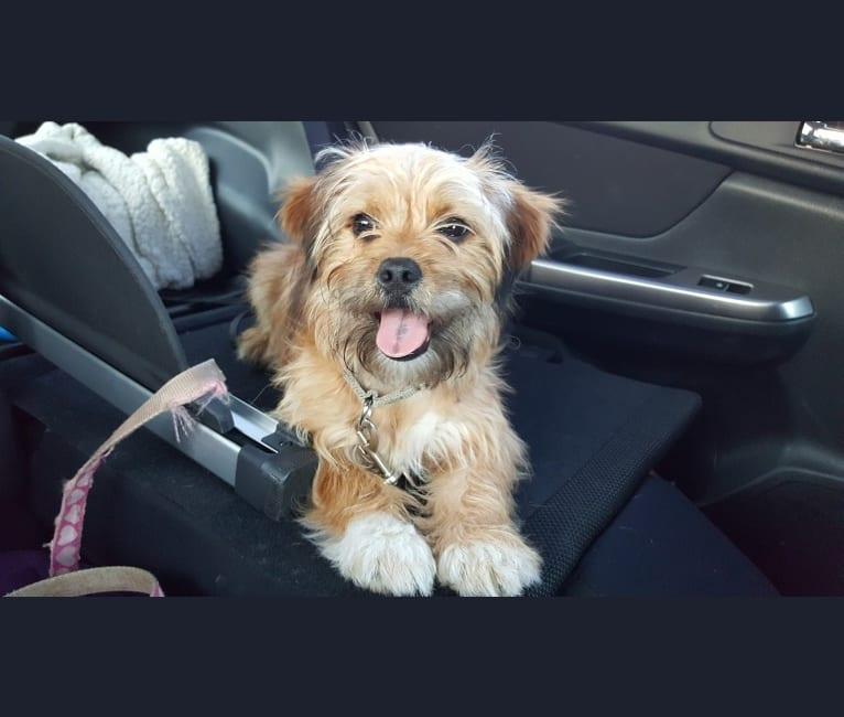 Photo of Benji, a Lhasa Apso, Chihuahua, and Shih Tzu mix in Attleboro, Massachusetts, USA