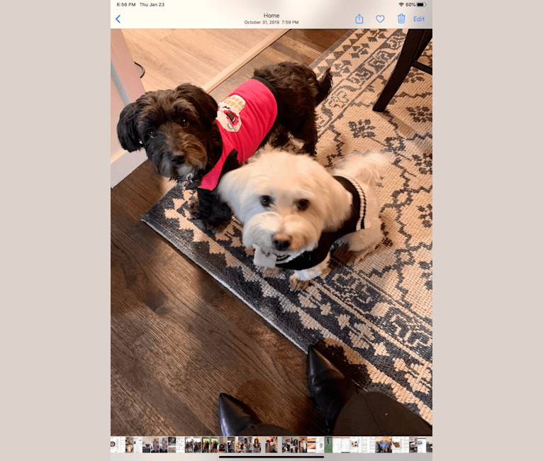 Photo of Izzy, a Poodle (Small), Chihuahua, and Mixed mix in Palo Alto, California, USA