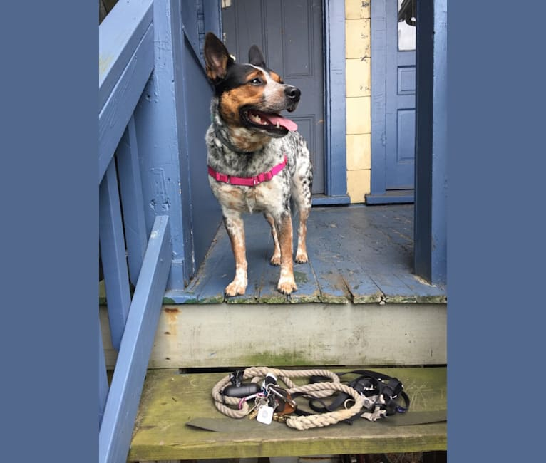 Photo of April, an Australian Cattle Dog, Border Collie, and Pembroke Welsh Corgi mix in Pittsburgh, Pennsylvania, USA