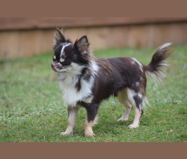 Photo of Rhys, a Chihuahua  in Anderson, SC, USA