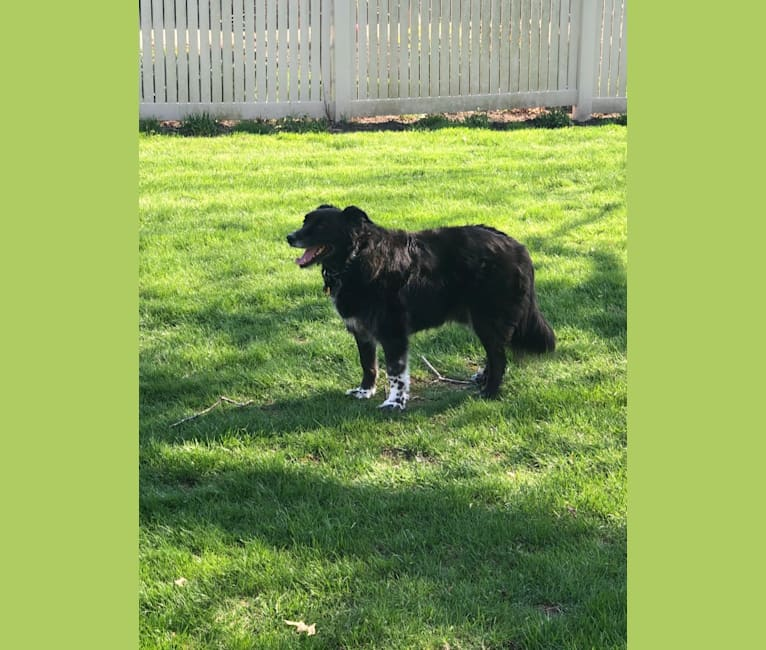 Photo of Denver, a Border Collie, Labrador Retriever, Chow Chow, and Rottweiler mix in Circleville, Ohio, USA