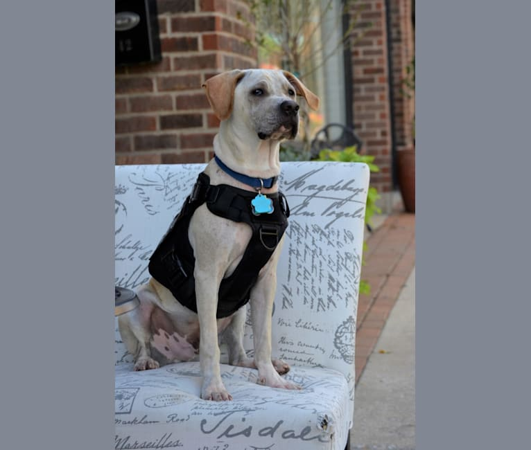 Photo of Riley Titan, an American Pit Bull Terrier, German Shepherd Dog, Mountain Cur, Beagle, and American Staffordshire Terrier mix in Watseka, Illinois, USA
