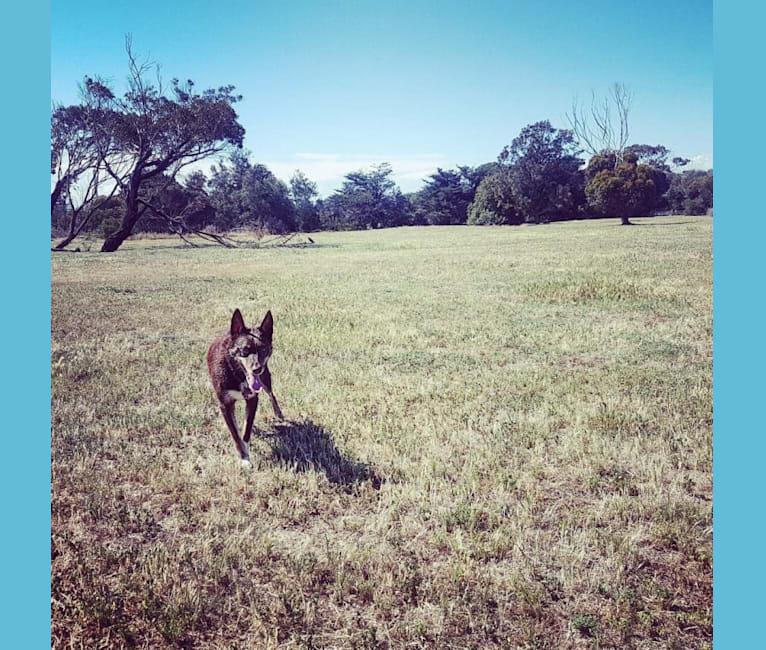 Photo of Matilda, an Australian Kelpie  in Warwick QLD, Australia