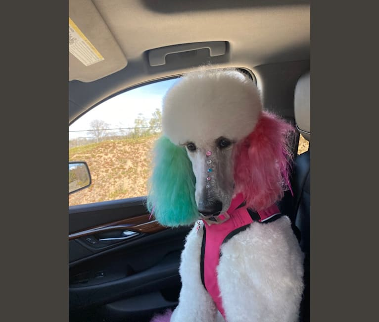 Photo of Fancy Chanel Mademoiselle, a Poodle (Standard)  in Escondido, CA, USA