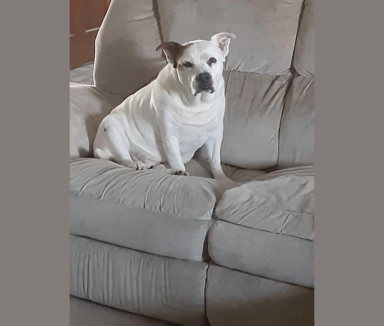 Photo of Sarge, a Bulldog and Labrador Retriever mix in St. Louis, Missouri, USA