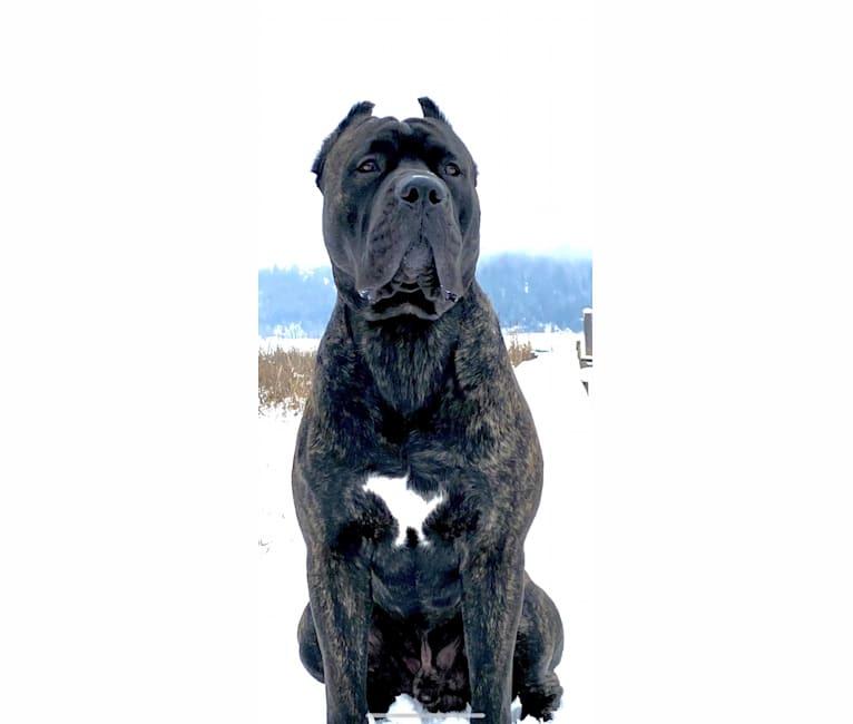 Photo of Riggs, a Boerboel, Neapolitan Mastiff, Rottweiler, and Great Dane mix in Longview, Washington, USA