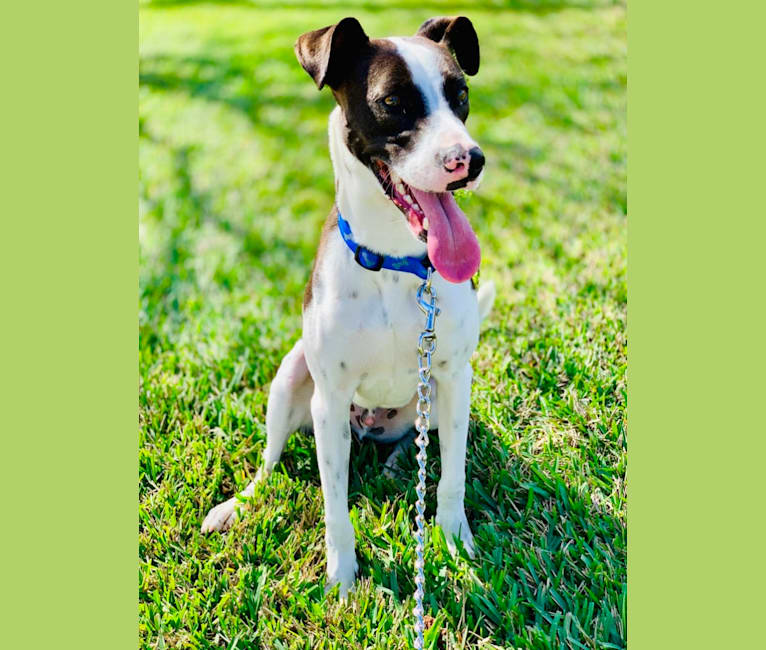 Photo of Digby Naruhito, Crown Prince of Galt, an American Pit Bull Terrier, Collie, and Mixed mix in Orlando, Florida, USA
