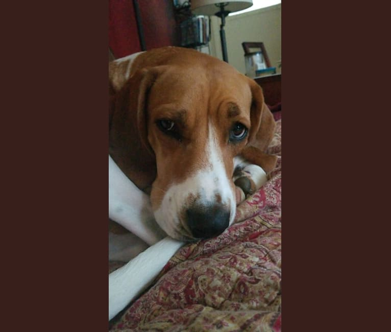 Photo of Edie, a Treeing Walker Coonhound, Boxer, and American Pit Bull Terrier mix in Kalamazoo, Michigan, USA