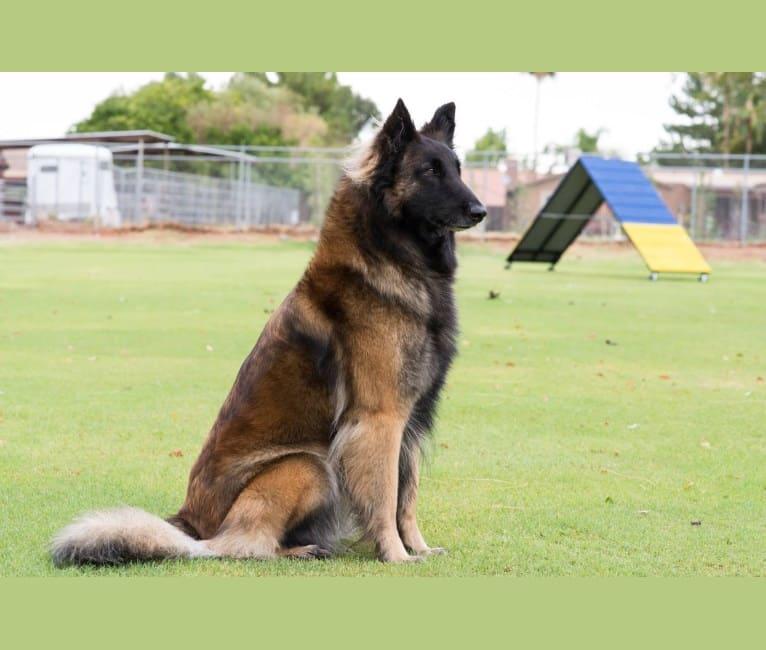 Photo of Sprite, a Belgian Shepherd  in Phoenix, AZ, USA