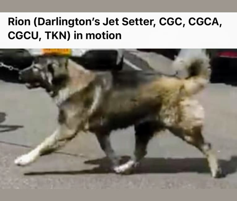 Photo of Rion Darlington's Jet Setter, CGC, CGCA, CGCU, TKN, TKI, TKA)(, a Caucasian Ovcharka  in Helsinki, Finland