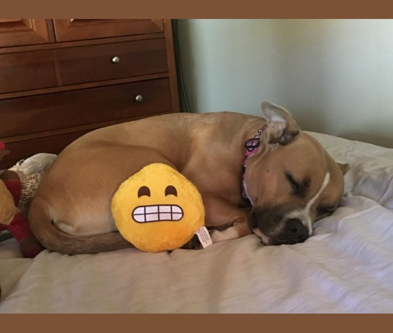 Photo of Sophie, an American Staffordshire Terrier and American Pit Bull Terrier mix in New Bedford, Massachusetts, USA